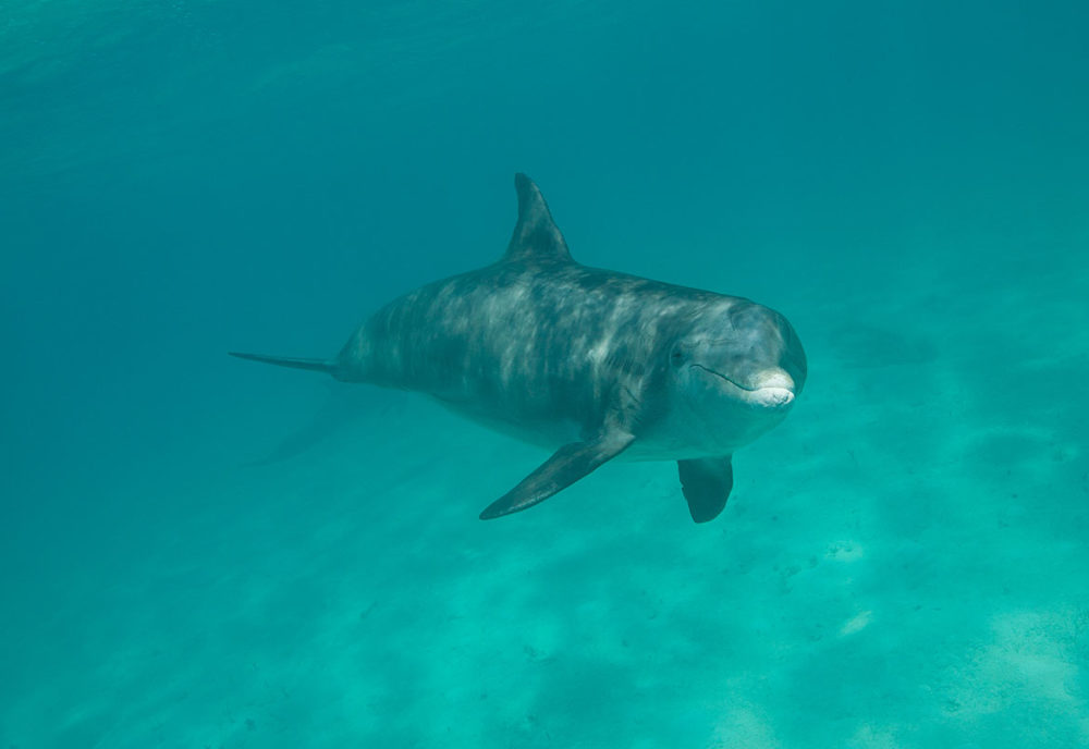dolphin swimming and smiling in turks and caicos
